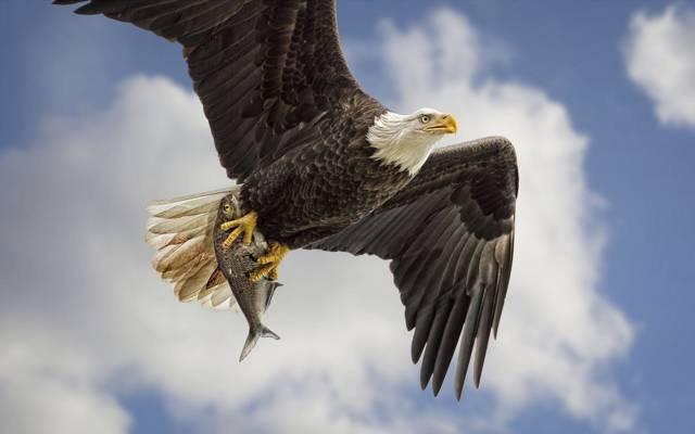 捕食者,天空,翅膀,飞行,采矿,鸟,赶上,秃鹰,鱼