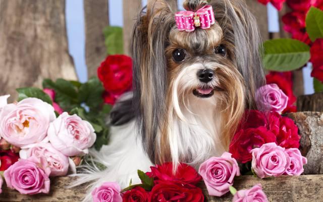 女孩,狗,花,发夹,弓,玫瑰
