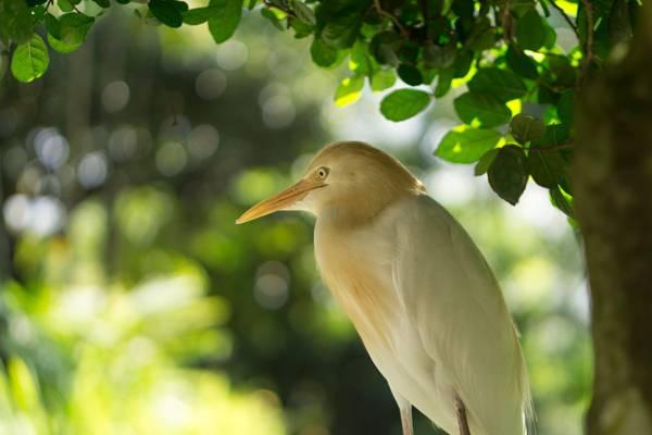 黄色和白色的鸟附近的树,牛白鹭高清壁纸