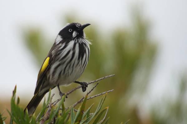 黑色和白色的鸟栖息在树枝上,亲爱的,phylidonyris novaehollandiae高清壁纸