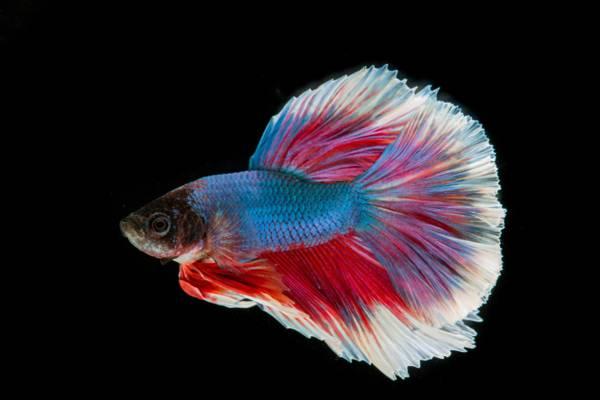 蓝色,红色和白色的战斗暹罗鱼高清壁纸
