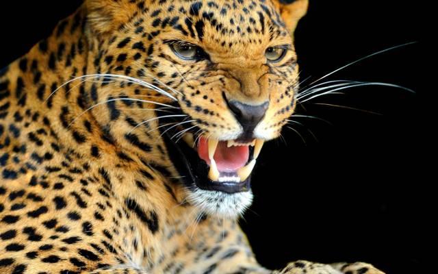 豹,看,颜色,捕食者,背景,咆哮声,野生猫