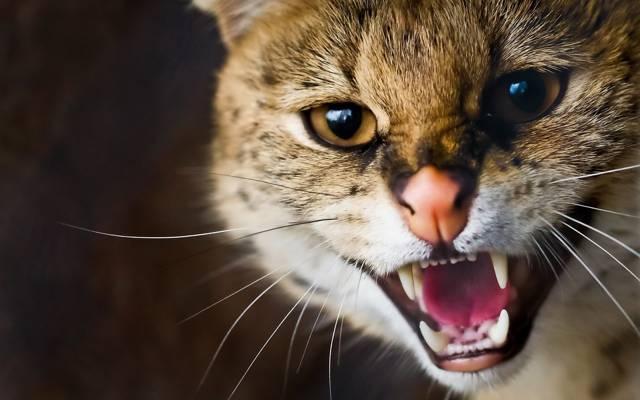 小胡子,咧嘴笑,脸上,野猫,Ser猫