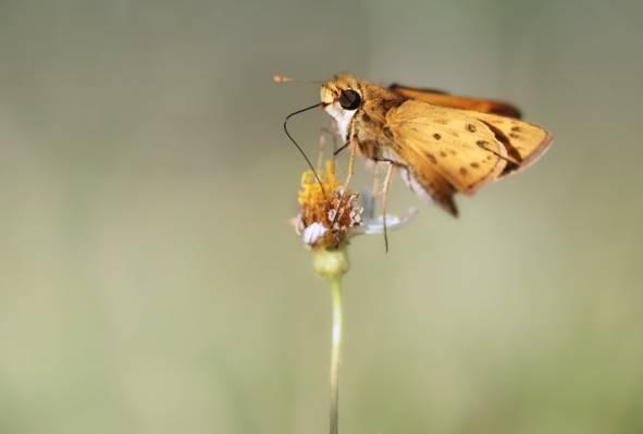 棕色和黑色蝴蝶与黄色的太阳花,船长高清壁纸