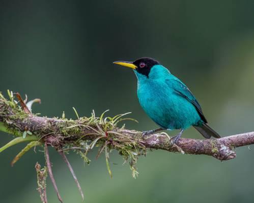 在白天栖息在树枝上的绿色的小鸟,绿色honeycreeper高清壁纸