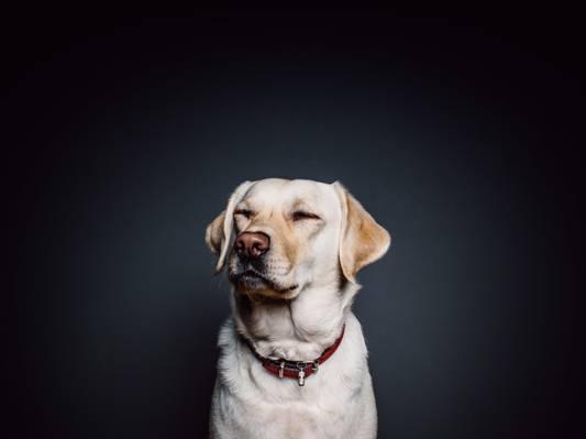 动物,狗,宠物,拉布拉多高清壁纸