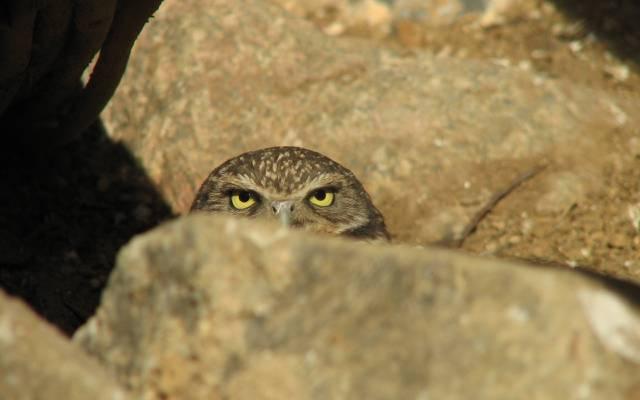 石头,伏击,猫头鹰