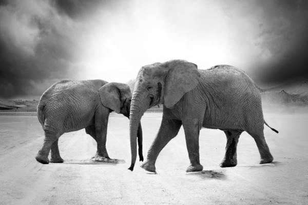 大象高清壁纸灰度摄影