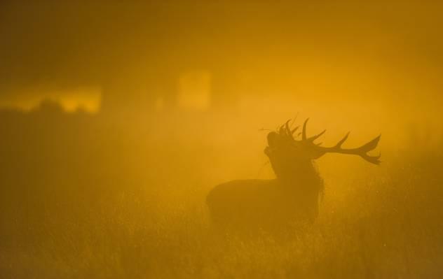 鹿,大自然,雾