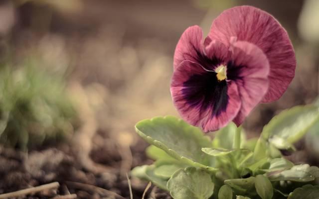 宏,三色堇,绿色,大,中提琴,花,粉红色