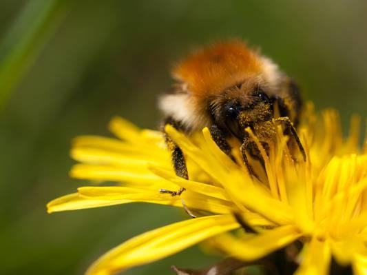 蜜蜂特写照片上黄色的花瓣花高清壁纸