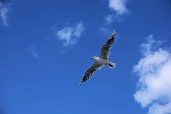 云,苍蝇,天空,蓝色,鸟,翱翔,海鸥,在空中