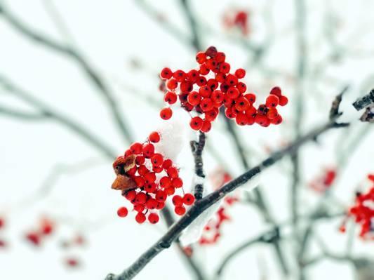 罗文,雪,秋天,分支,浆果
