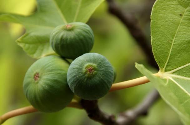 特写照片的绿色水果,大加那利岛高清壁纸
