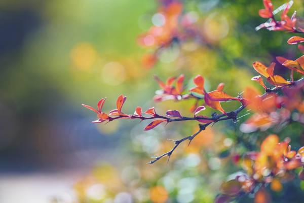 红叶植物选择性摄影高清壁纸