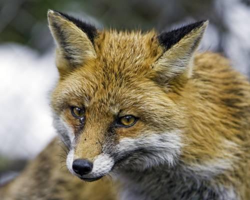关闭褐色和黑狐狸HD墙纸照片