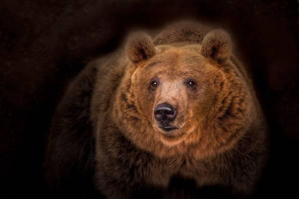 肖像,熊,熊,黑暗的背景