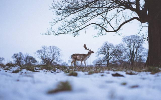 雪,树枝,草,树木,角,鹿