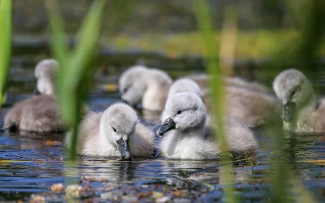 鸟,孩子,水,小鸡,天鹅,芦苇