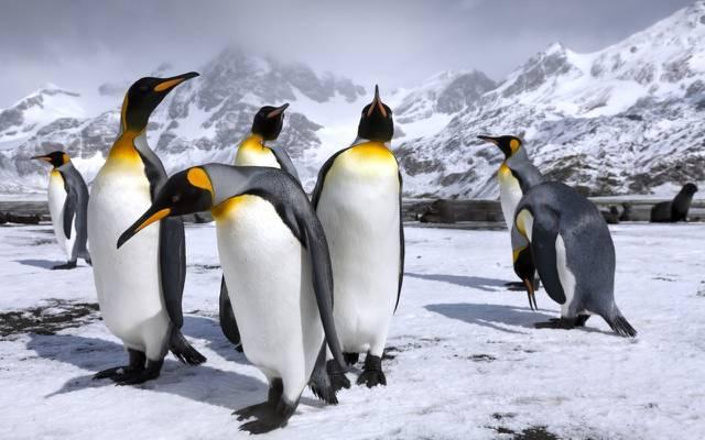 壁纸山,雪,皇家企鹅,企鹅,企鹅