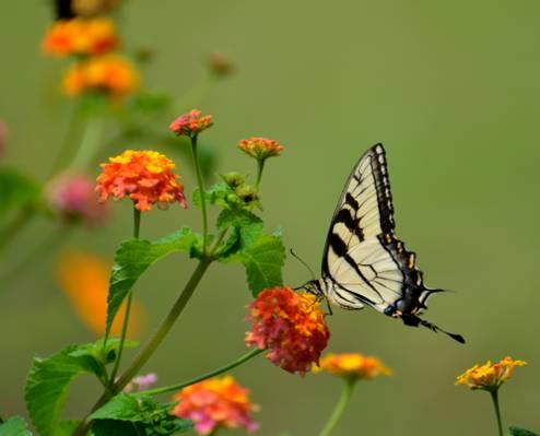 黑色和米色燕尾蝴蝶在橙花高清壁纸的顶部