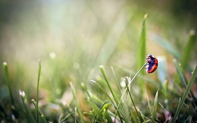 宏,草,瓢虫,甲虫