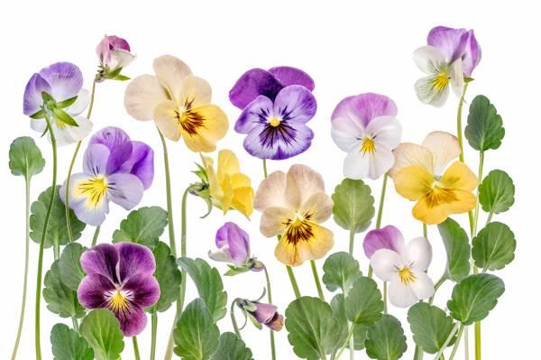 任何时候眼睛,花瓣,自然,中提琴,干,三色,叶子