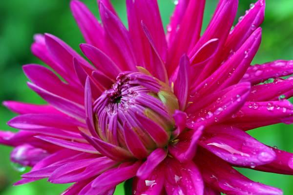 桃红色petaled花HD墙纸的特写镜头照片