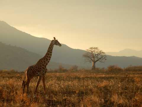 草原上的长颈鹿图片