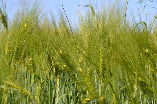 绿色小麦麦穗图片