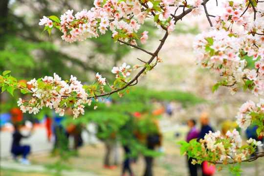 北京玉渊潭公园樱花景色图片