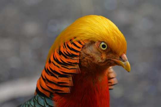 红腹锦鸡高清图片