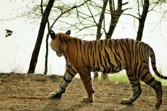 凶猛的印度虎图片