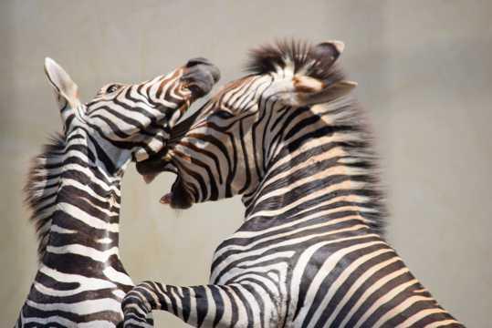 两匹斑马高清图片