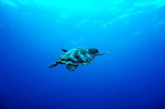 海洋里的海龟图片