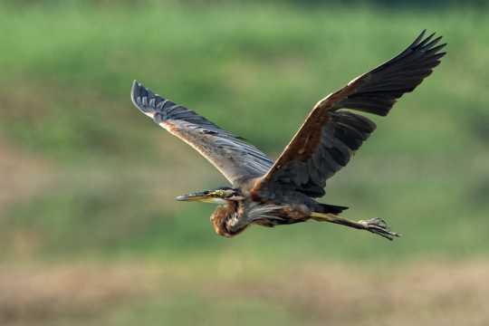 飞行的草鹭图片