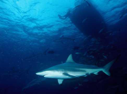 海洋中的热带鲨鱼图片