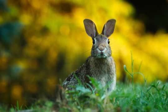 野生灰兔图片