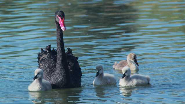 湖面上黑天鹅图片