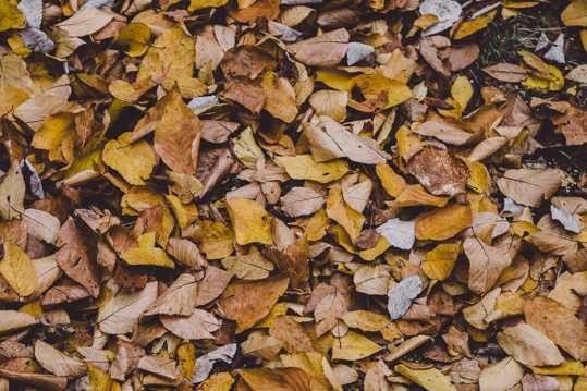 满地秋季黄叶