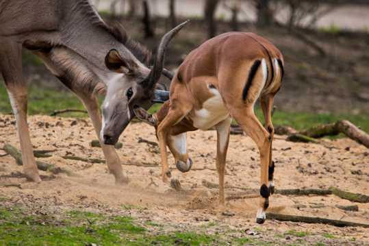 羚羊打斗图片