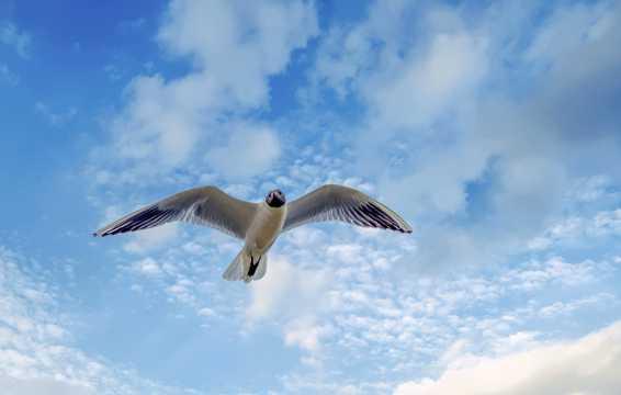 展翅遨游海鸥图片