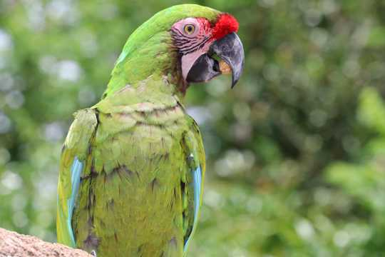 大绿金刚鹦鹉图片