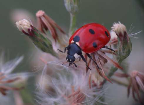 红色小瓢虫图片