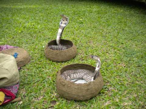剧毒眼镜蛇图片