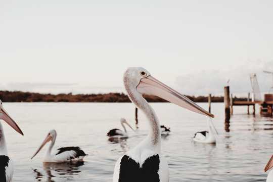 湖畔的鹈鹕图片