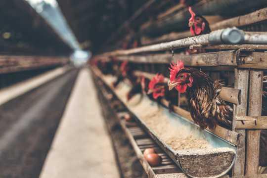 现代化养鸡场图片