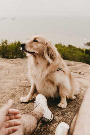 白色英系金毛犬图片