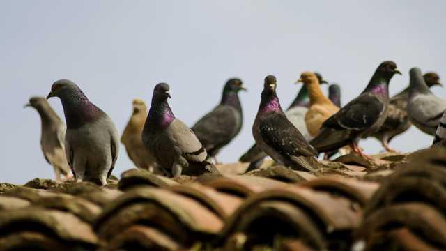 屋顶一群鸽子图片