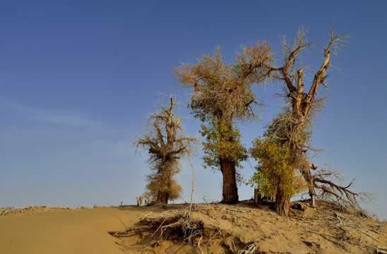 新疆塔里木大漠公路旁的胡杨树图片